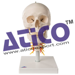 a20-1_02_1200_1200_human-skull-model-on-cervical-spine-4-part