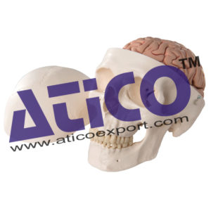 a20-9_01_1200_1200_classic-human-skull-model-with-5-part-brain