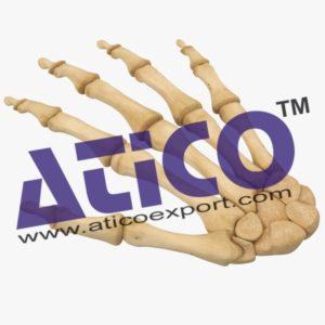 hand-bone