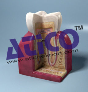 molar-and-incisor-cross-section-model