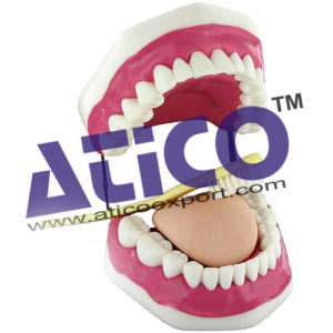 oral-hygiene-model
