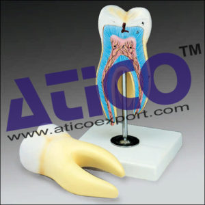 right-lower-first-molar-model