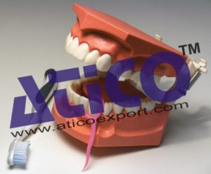 dental-hygiene-model
