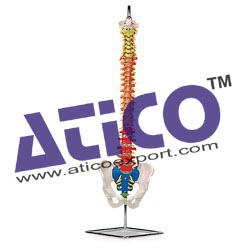 flexible-spinal-column-with-color-coded-regions