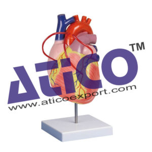 heart-with-bypass-model