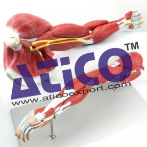 human-arm-muscles-anatomy-model