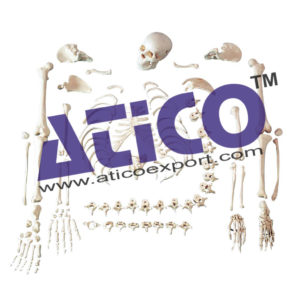 human-disarticulated-skeleton