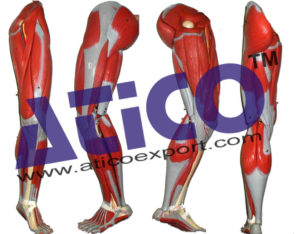 human-leg-muscles-anatomy-model