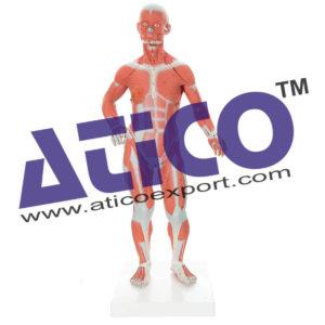 human-life-size-muscle-torso