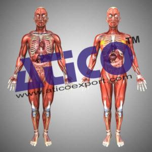 human-muscular-skeleton