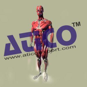 human-muscular-skeleton-model