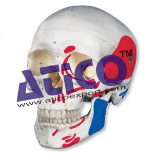 human-muscular-skull-3-parts