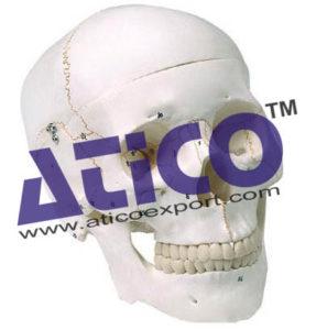 human-skull-3-parts-numbered