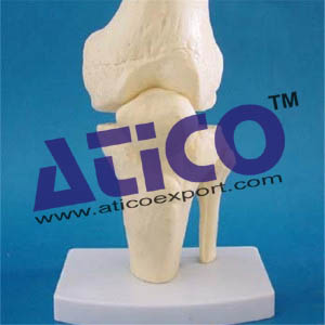 knee-joint-skeleton-model