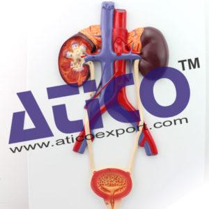 medi-a0103-human-urinary-system-model-kidney-ureter-bladder-urethra-wooabao-1503-29-wooabao2223
