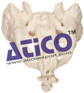 sacrum-with-coccyx