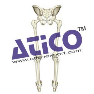 skeleton-of-lower-limb-with-half-pelvis-model