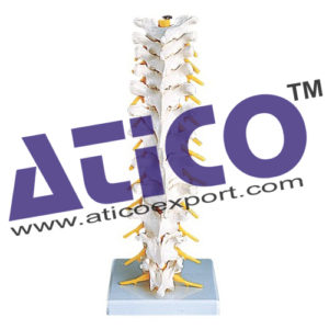 thoracic-spinal-column